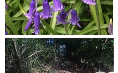 Bluebells in Chestnut Lodge Pet Cemetery