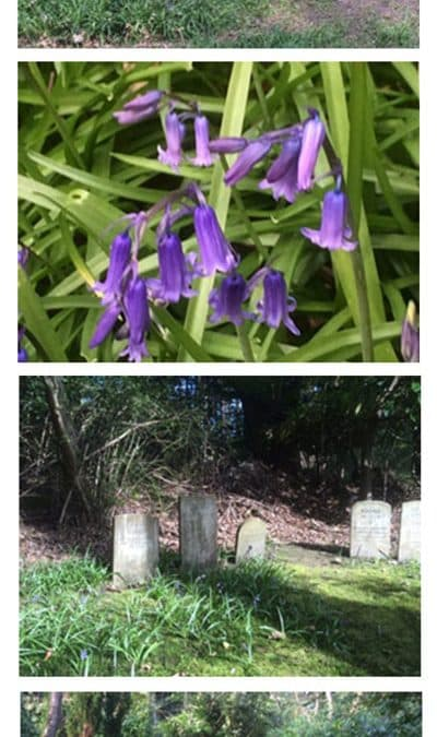 Bluebells in Chestnut Lodge Pet Cemetery